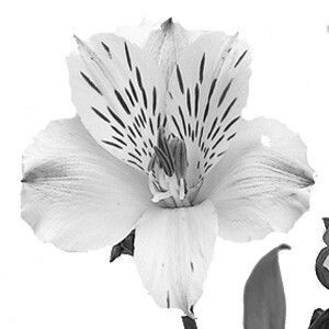An Alstroemeria Bloom The Flower For My Thigh Tattoo
