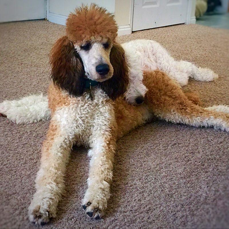 Chocolate Phantom Standard Poodle Puppy At 15 Weeks Poodle