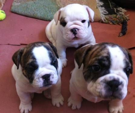 English/French Bulldog Mix Puppies for sale!!!! Animal