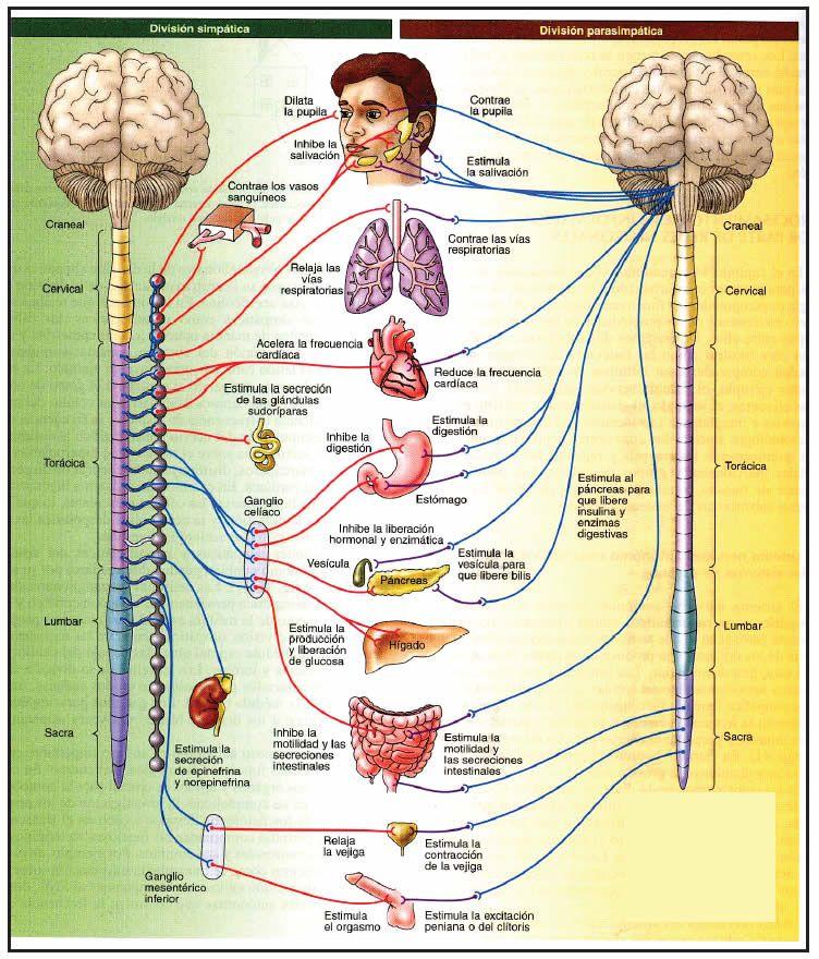 Sistema nervioso Autónomo … | Pinteres…