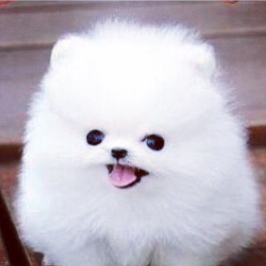 Cute Fluffy White Puppy Fluffy Puppies Puppies Cute Animals