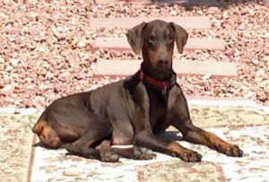 Greta Is An Adoptable Doberman Pinscher Dog In Las Vegas Nv