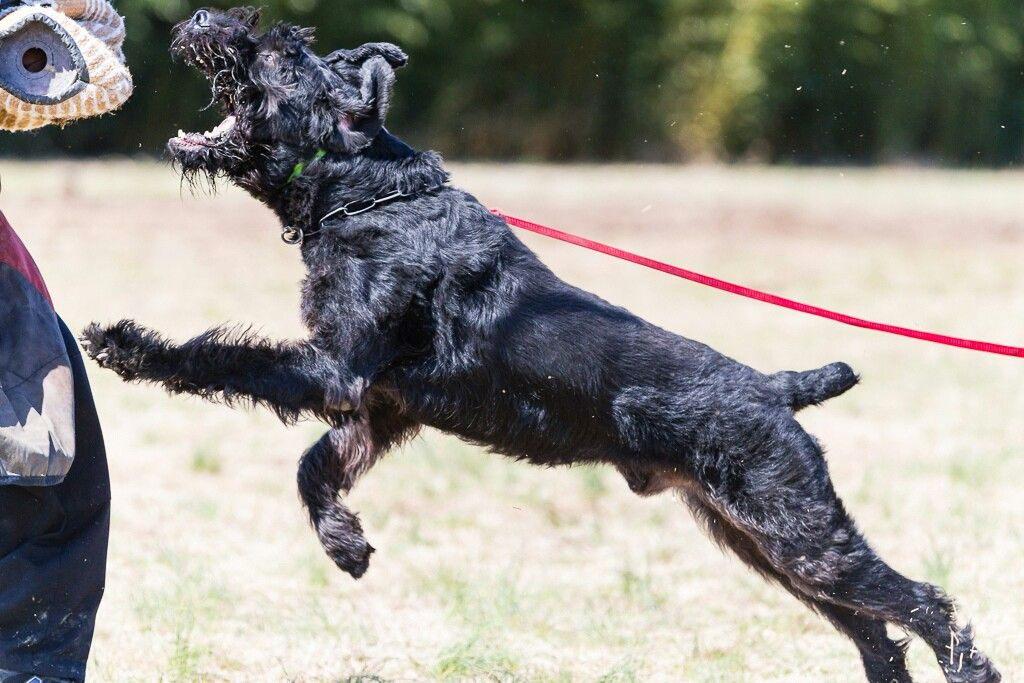 Giant Schnauzers Are A Popular Choice For Ipo Schutzhund Personal