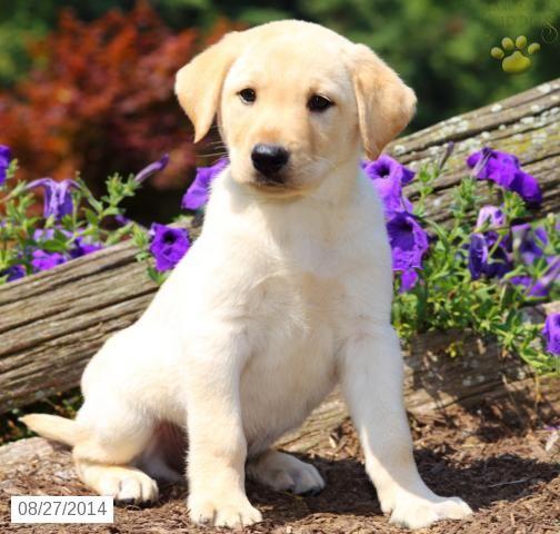 Jesse Labrador Retriever Puppy For Sale In Fresno Oh Puppies Labrador Retriever Labrador Retriever Puppies