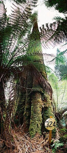 icarus  tasmania