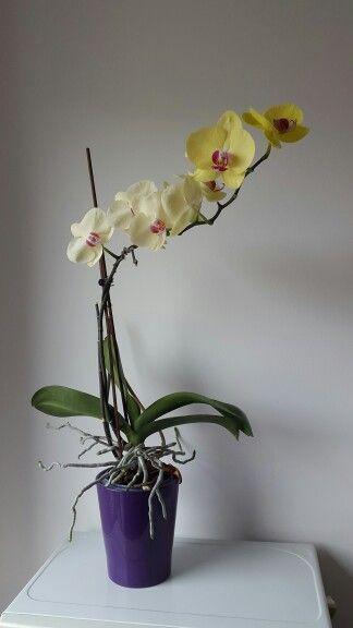 Orchid 2015 September Plants House Plants Orchids