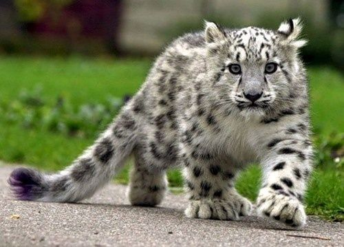 Baby snow leopard. - Click image to find more Animals Pinterest pins