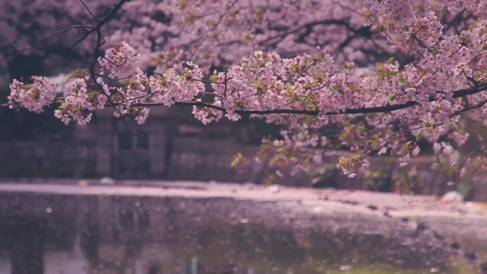 Cherry Blossom Season Cherry Blossom Season Cherry Blossom Sakura Flower
