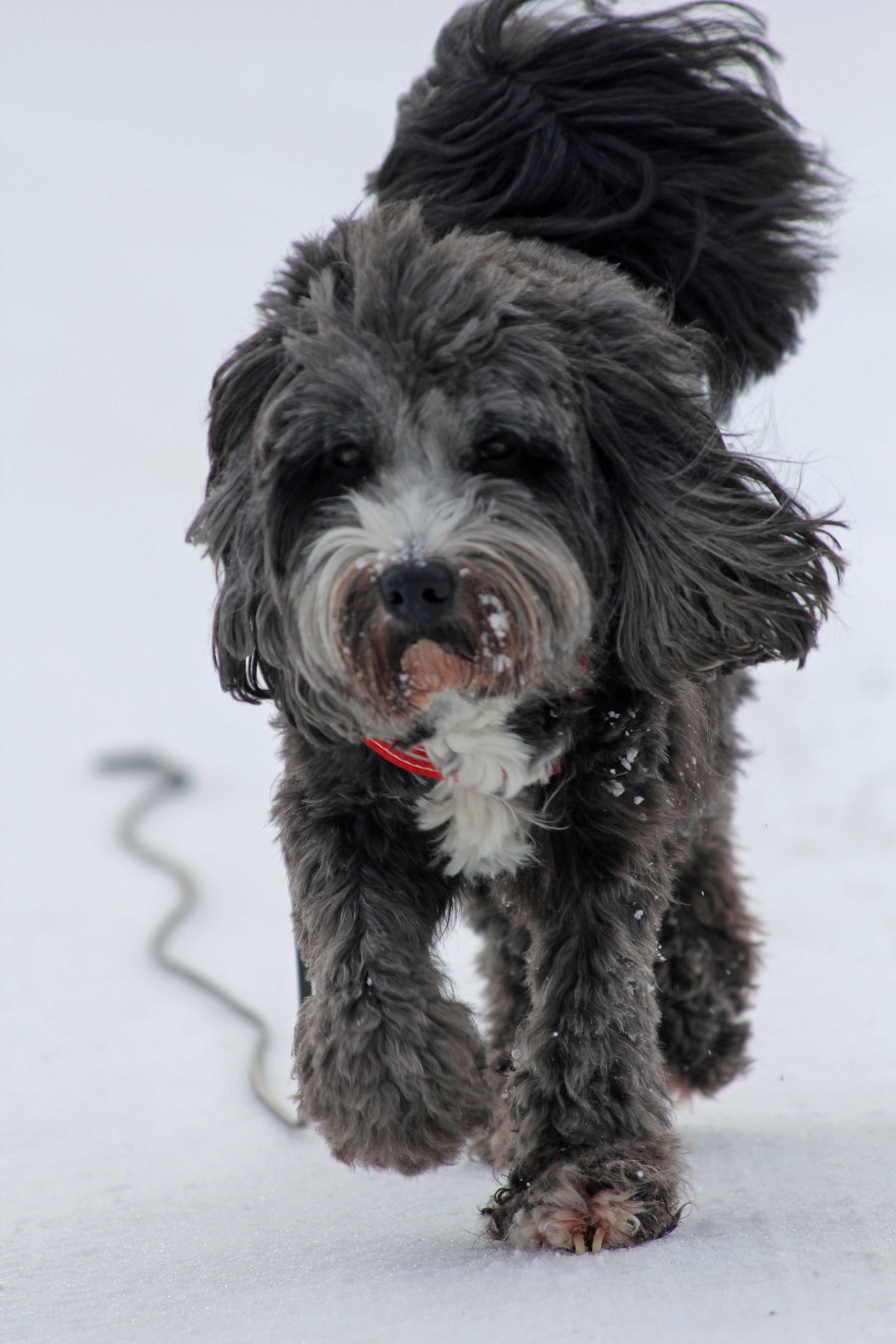 Mozart, Tibet Terrier Hunde, Hunderassen, Hunde rassen