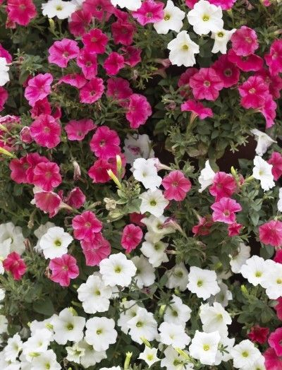 Different Types Of Petunias Learn About The Varieties Of Petunias Petunia Flower Petunia Plant Petunias