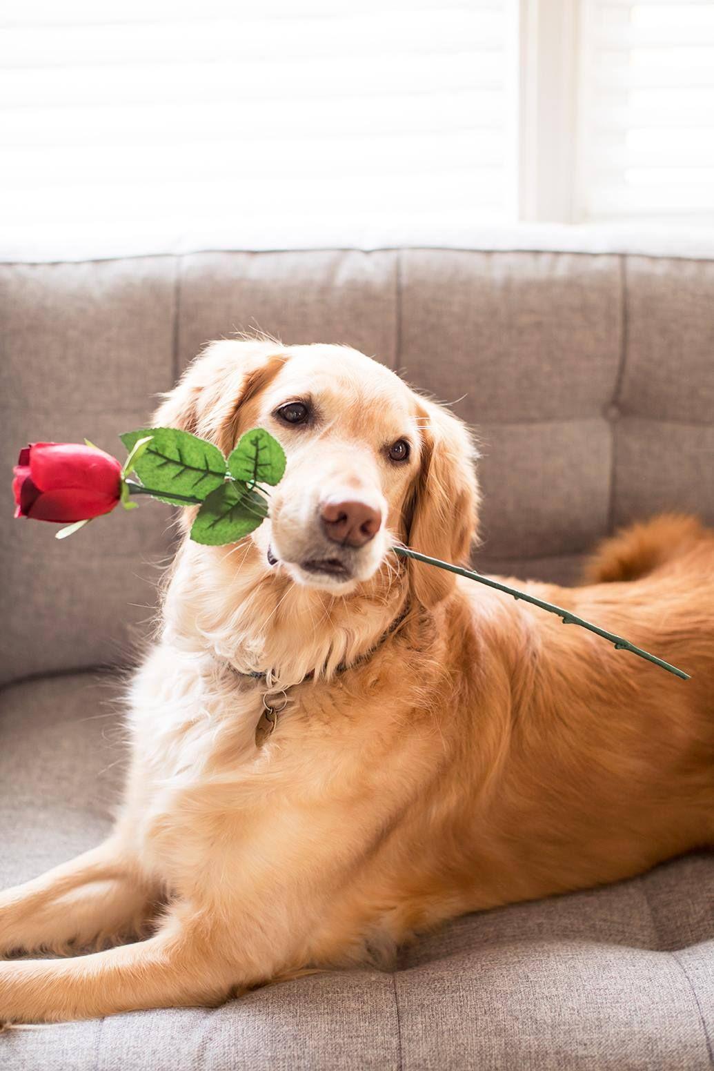 Golden Retriever Bachelorette Rose Goldenretriever Rose