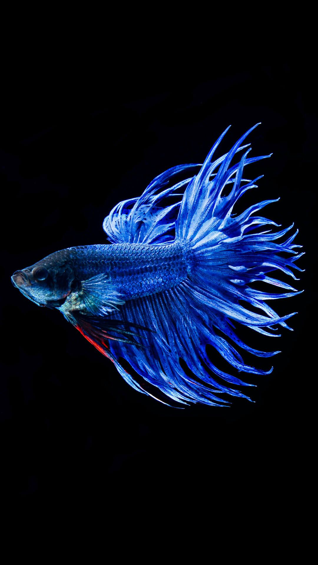iPhone Fish Wallpapers Free Download | Betta, Ikan cupang ...
