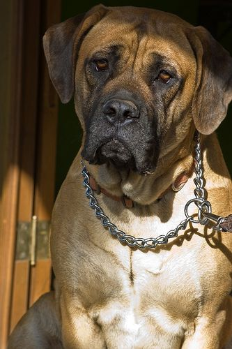 Luga By Fotosuabe An English Mastiff 3 Looks Just Zeus My Mo Moes Big Dogs Dogs Dog Love