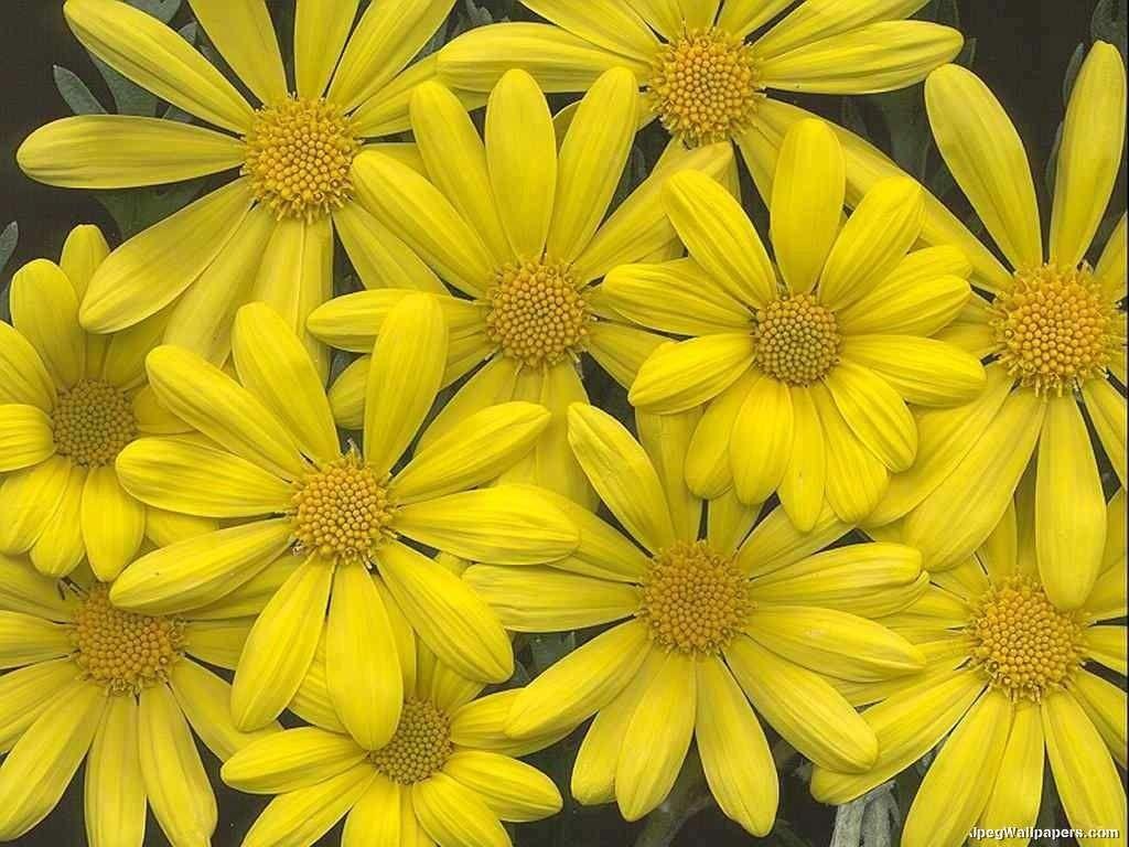 download flowers wallpaper yellow flowers design 1024x768 pixel