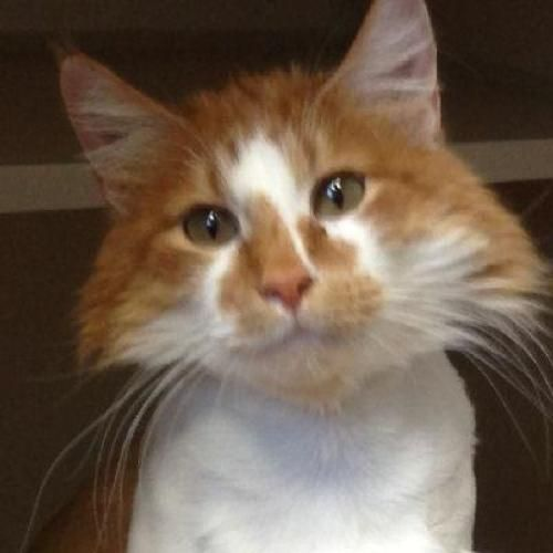 Adopt Eristoff On Petfinder Orange And White Cat Red Cat White Cat