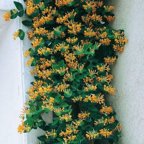 Kletterpflanze Halbschattig goldgeißblatt jelängerjelieber garten