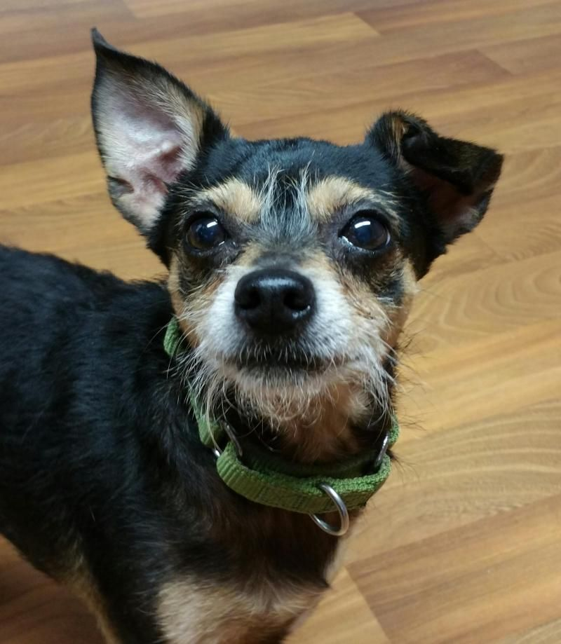 Adopt Mr Bean On Dog Pounds Terrier Dogs Jack Russell Terrier