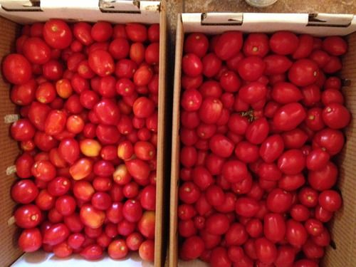 Northern Ruby Paste Tomato