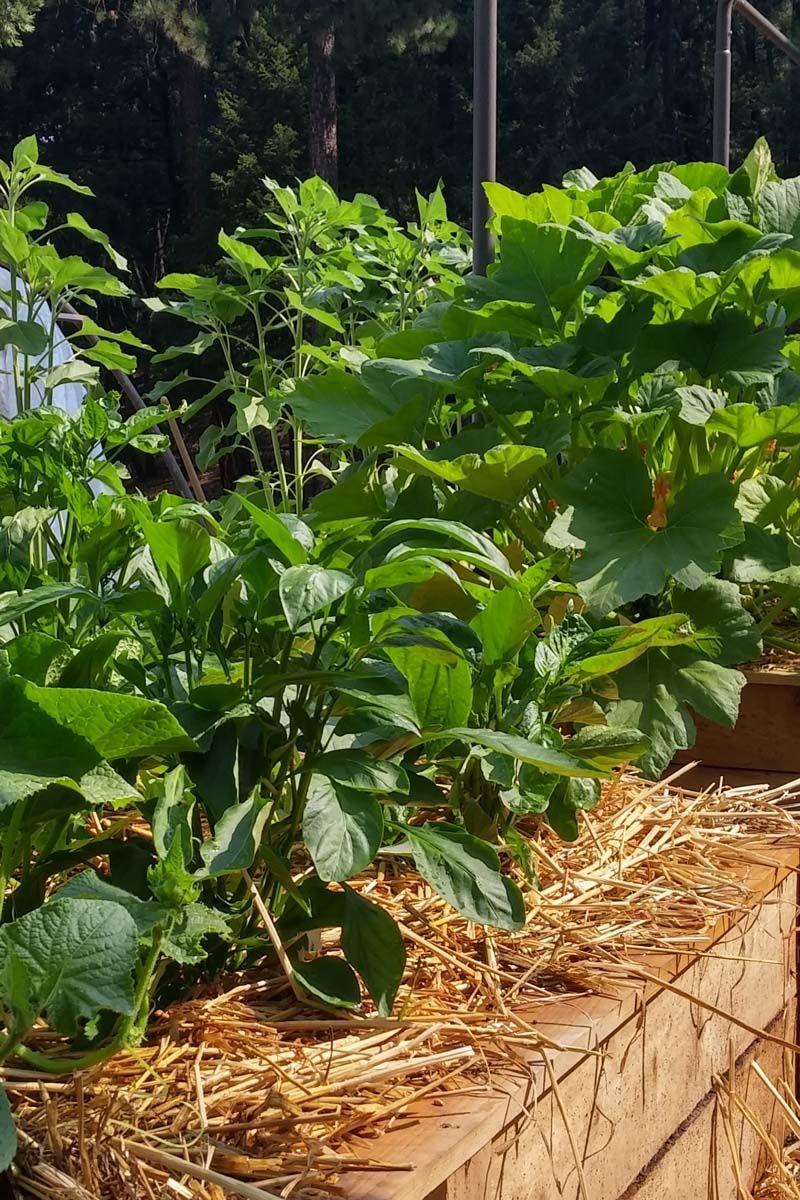 Pflegeleichter Gemusegarten In 2020 Tomaten Garten Rhabarber Pflanzen Gurken Anbauen