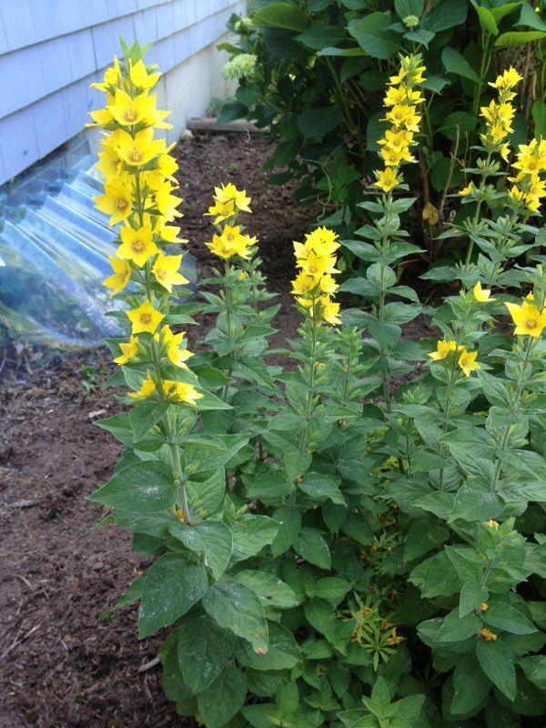Free Plant Identification Yellow perennials, Flowers