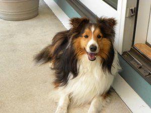 Adopt Whiskey on Funny dog photos, Sheltie, Cute dog photos
