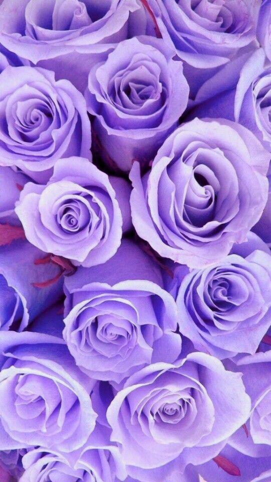 Purple Roses Wallpaper Iphone Roses Rose Wallpaper Flower Wallpaper