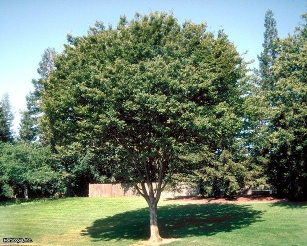 Chinese Tallow Tree Sapium Sebiferum Garden Garden