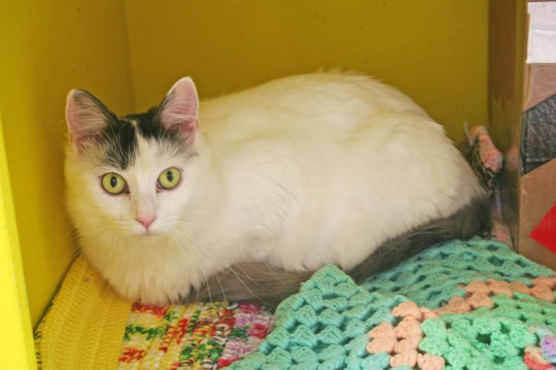 Meet Daria, a Petfinder adoptable Turkish Van Cat   Sacramento, CA   Daria is a wonderful little girl! She is incredibly playful and loves other cats. She has a great...