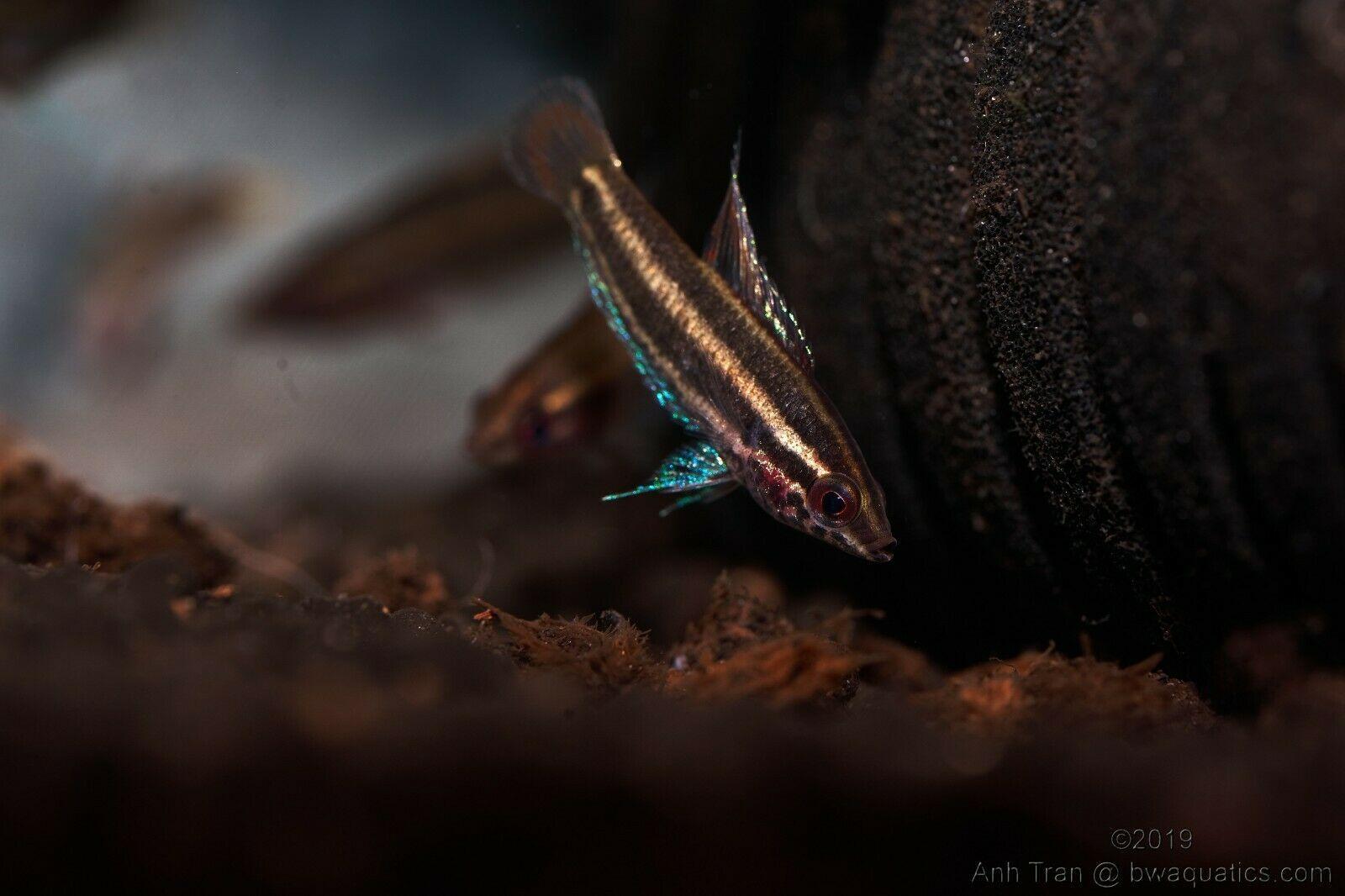 Pin On All Things Gourami Fish