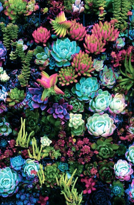 Colorful succulents Succulents, Plants, Colorful succulents