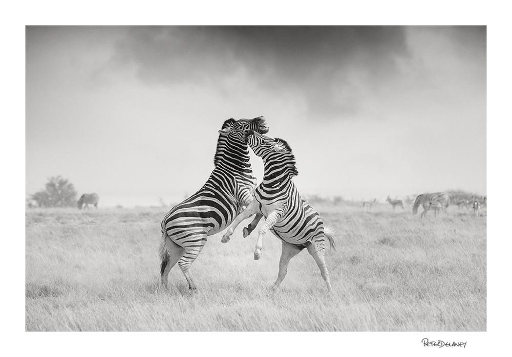 Zebra Stallions fight over the rights to females www.fineartwilderness.com https://dashburst.com/peter-delaney/3