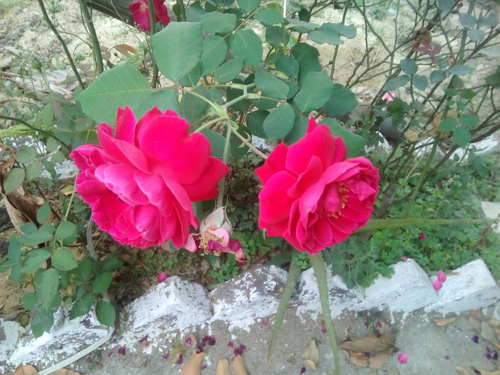 Persian Roses They R Called Desi Gulaab In India