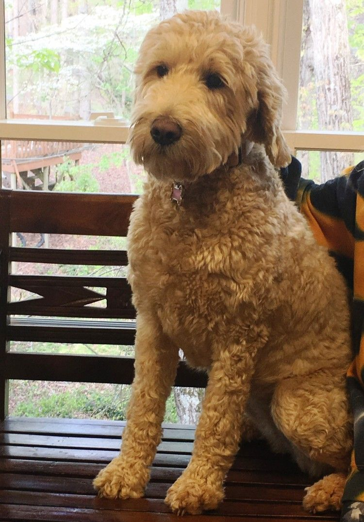 goldendoodle haircuts golden doodle haircut doggie stuff image result for f1b goldendoodle haircuts goldendoodle