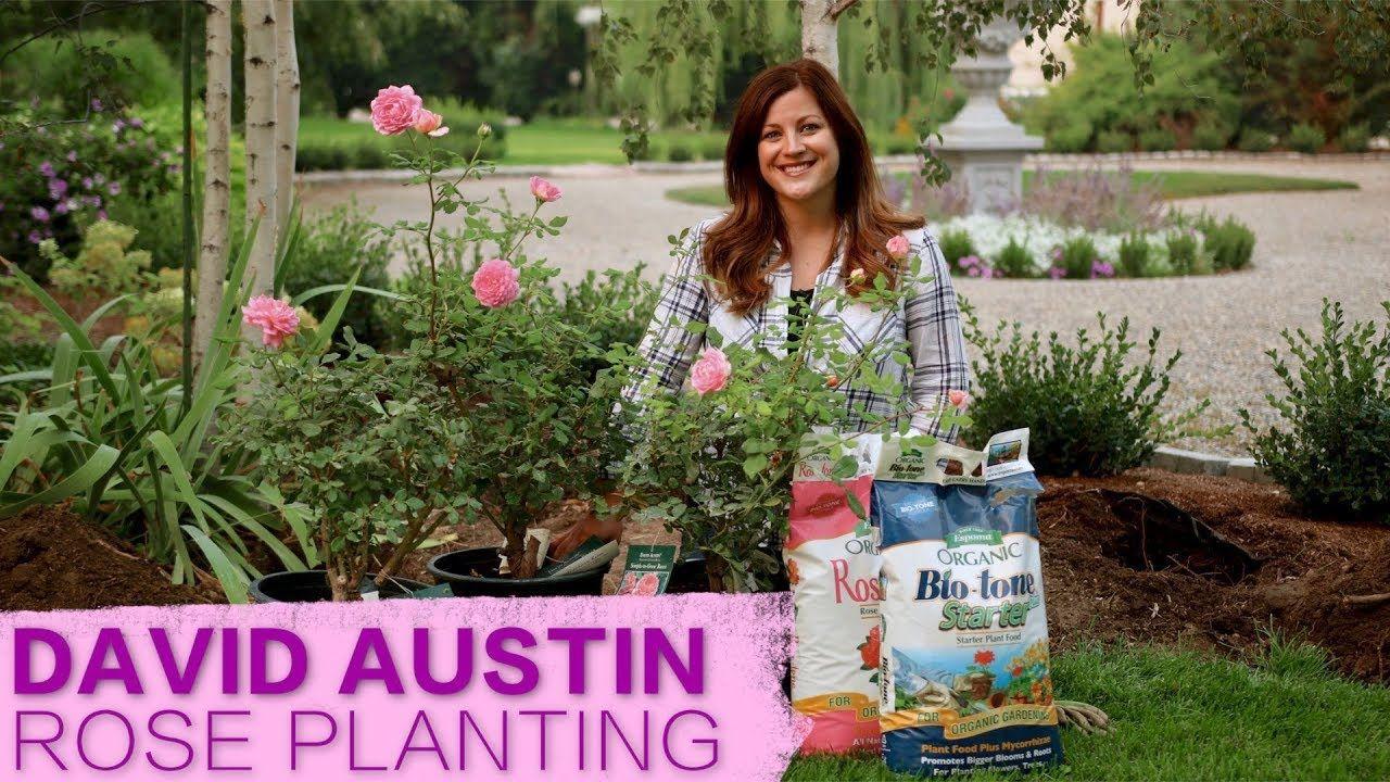 David Austin Jubilee Celebration Rose // Garden Answer