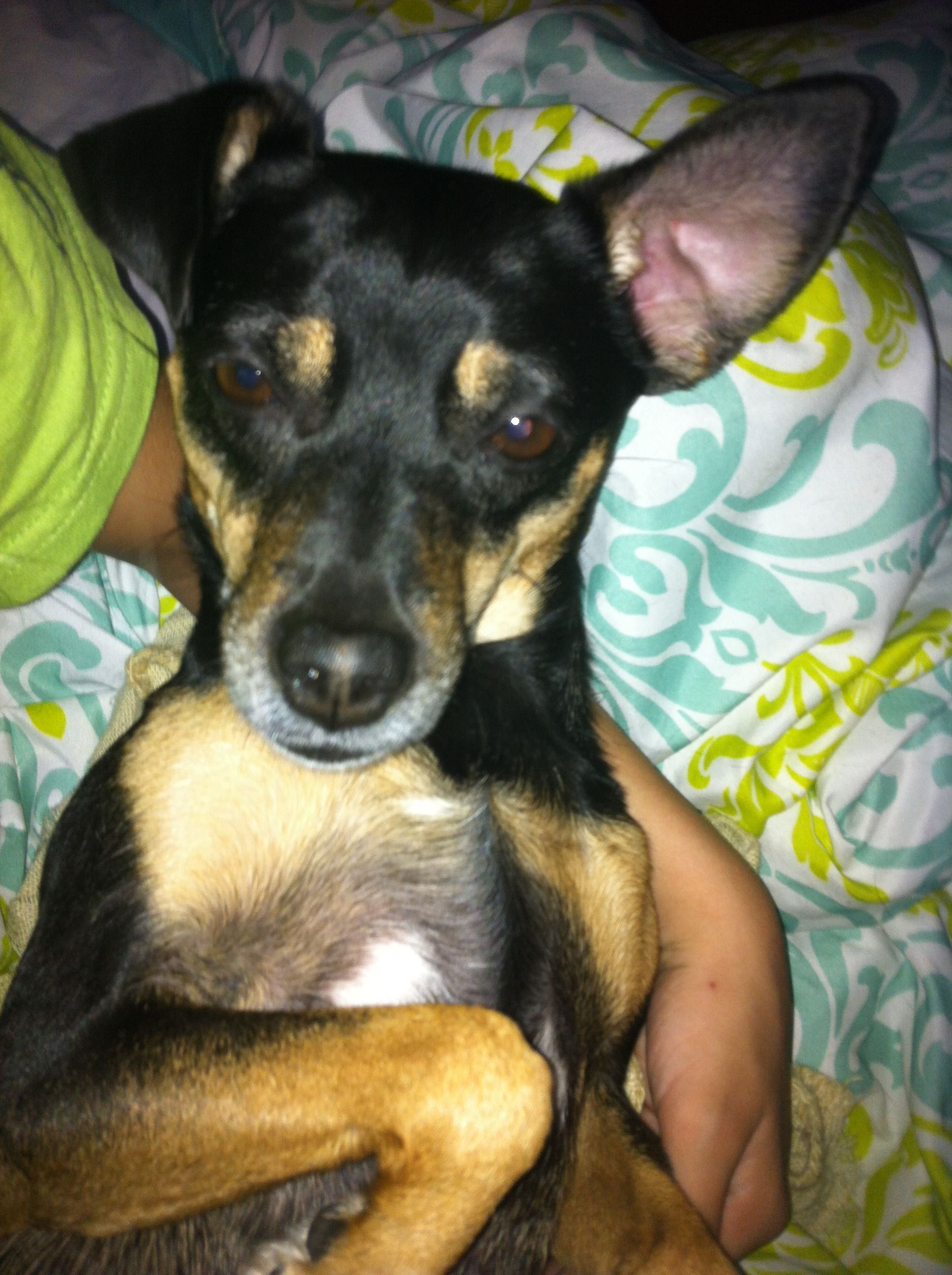 Love My Min Pin Rat Terrier Romeo My Loves Terrier Rat