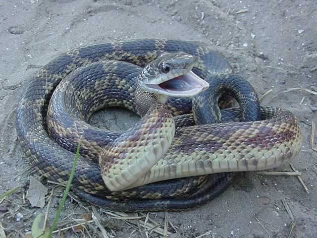 Google Image Result For Http Www Thies Times Com Serpentryan Lifelist Snakes Rat Snake Snake Texas Snakes