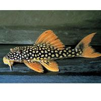 Sunshine Pleco Scobiancistrus Aureatus L014 Medium Tropical Fish Tanks Aquarium Fish Freshwater Fish
