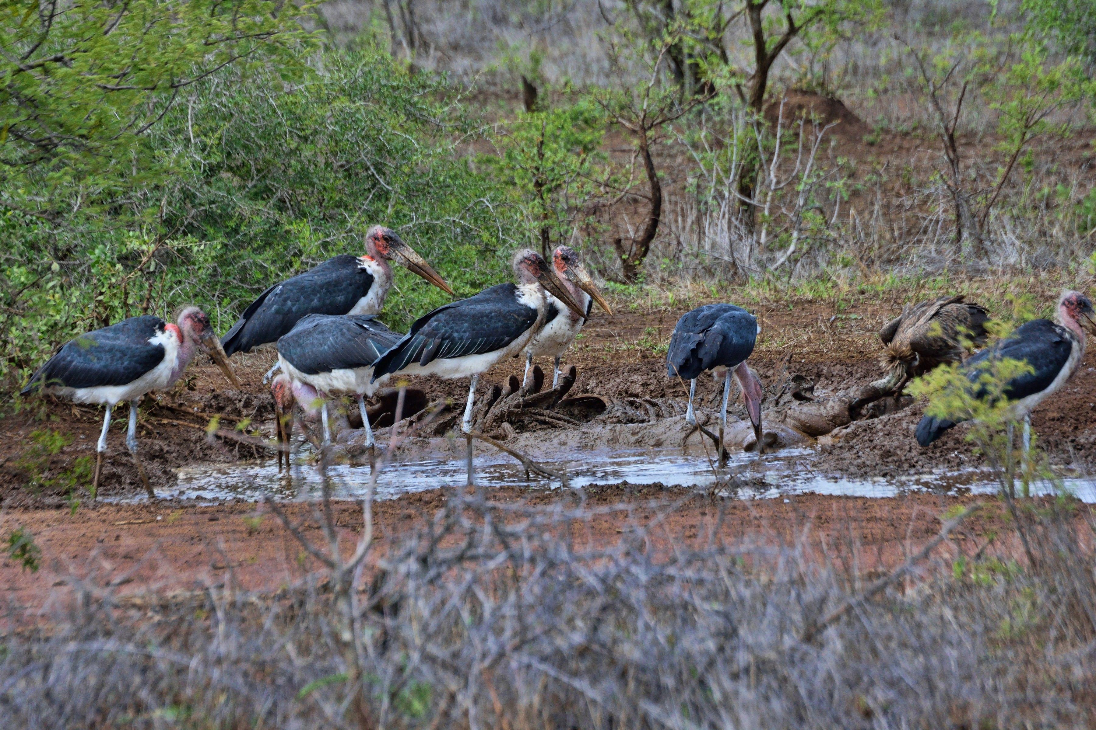 South Africa - Kruger Park (165) Marabou Storks and a White Backed Vulture