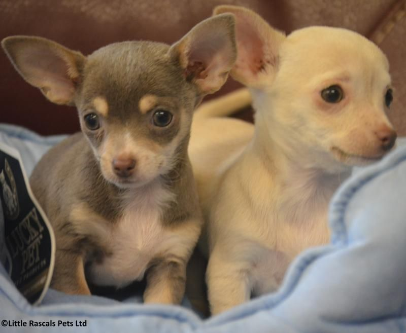 Pedigree Short Haired Chihuahua Puppies Pedigree Puppies For