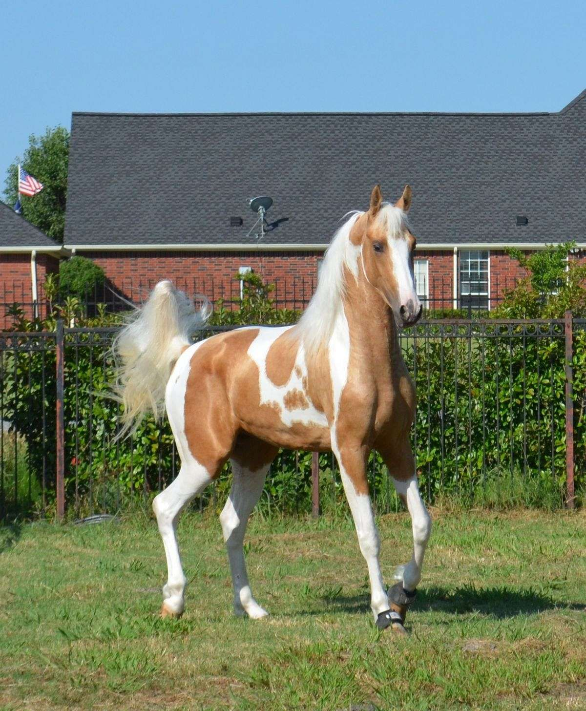 2019 year for girls- Saddlebred American pinto pictures