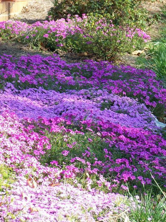 Ground Cover Ideas Creeping Phlox Sloped Garden Ground Cover