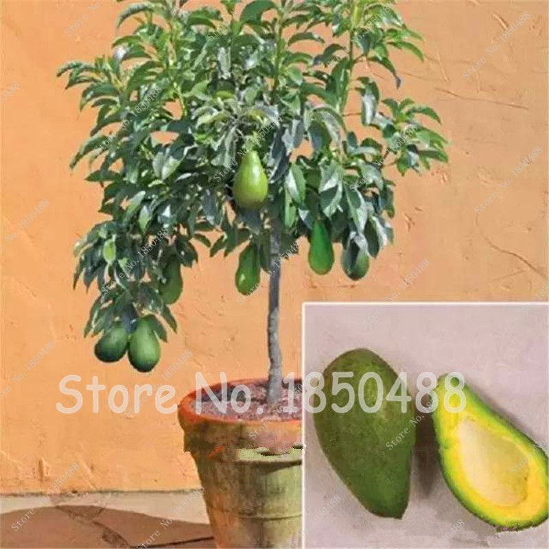 avocado seeds green fruit very delicious easy to grow for home garden jardins et fleur. Black Bedroom Furniture Sets. Home Design Ideas