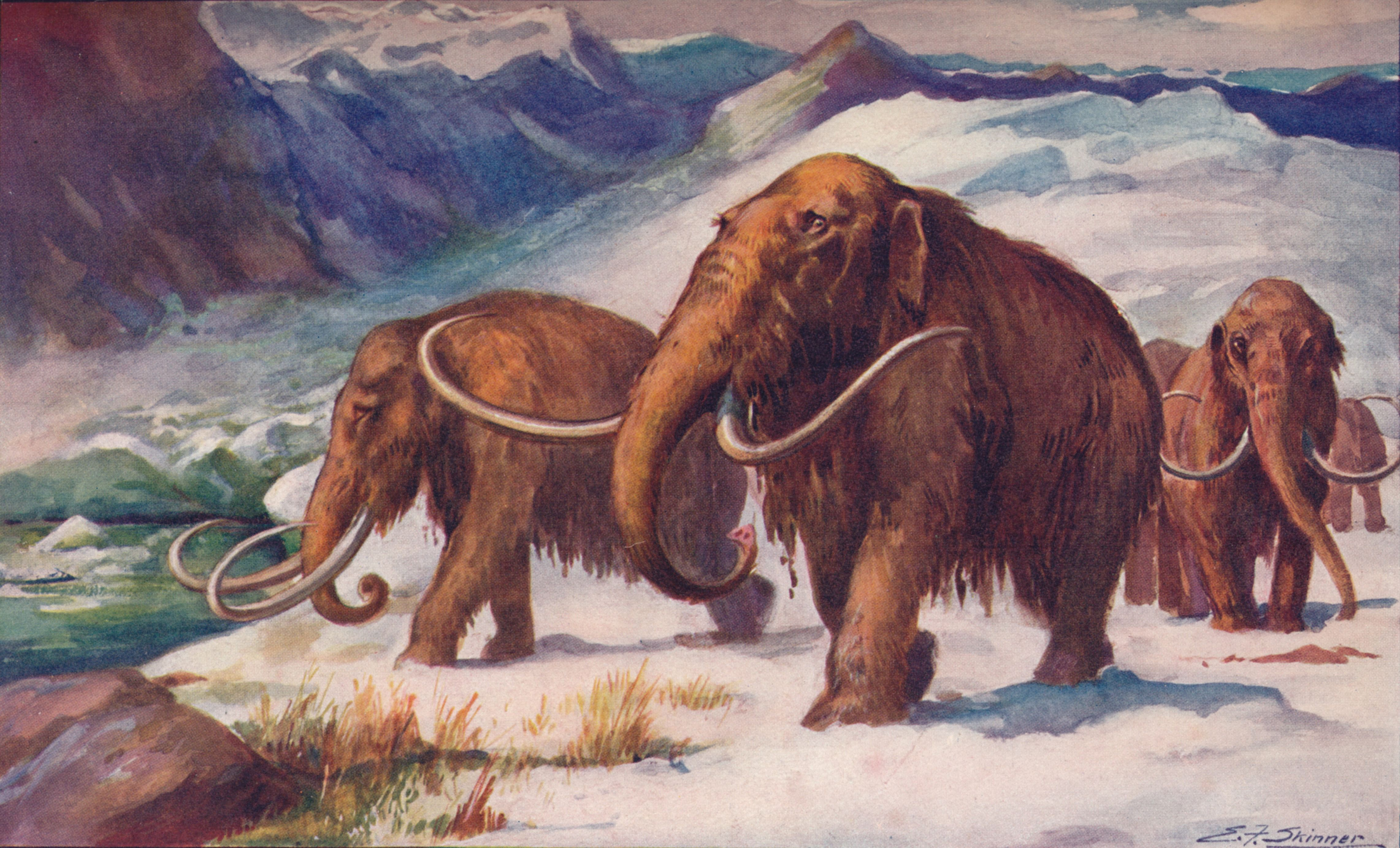 How the woolly mammoth extinction took place on remote