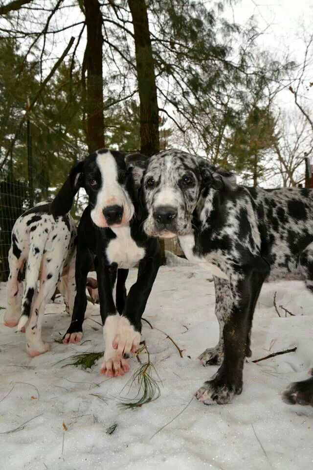Great Dane Puppies Being Trained As Balance Assistance Service