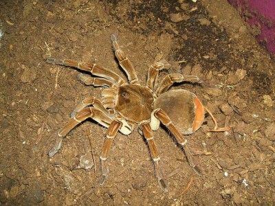 ae96f7e1250ccb2819389b8364280b73 - How To Get Rid Of Crab Spiders In Hawaii