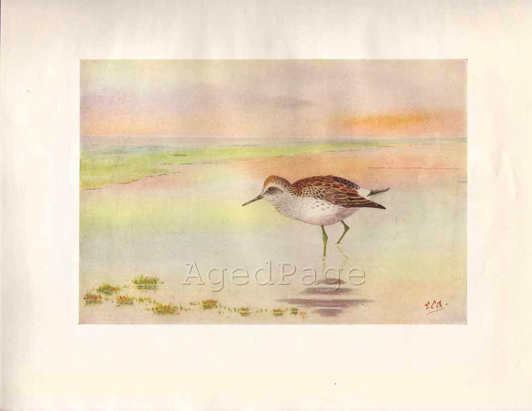 Vintage Shore Bird Print 1924 Art Illustration | bits \'n bobs ...