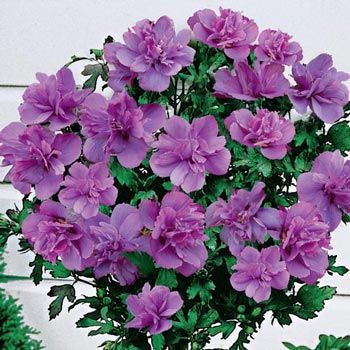 Ardens Hardy Hibiscus Standard Tree My Lovely Garden Hibiscus