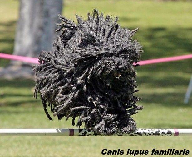 """(Canis lupus familiaris) Si tratta di un                                        pastore ungherese detto anche """"puli"""".   Cane o """"mocio"""" ?"""