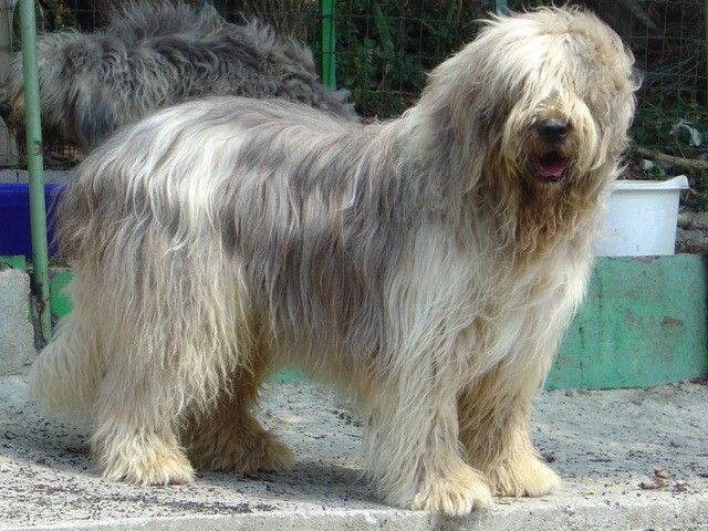cane da pastore della russia meridionale cerca con ForCane Da Pastore Della Russia Meridionale