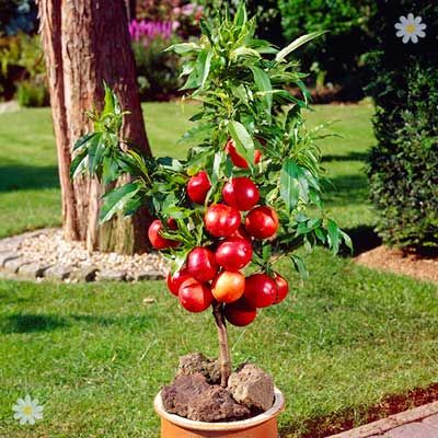404 You Seem To Be Lost Get Garden Orchids In Uk Fruit Plants Dwarf Fruit Trees Potted Fruit Trees